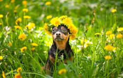 Ð¡ute puppy, a dog in a wreath of spring flowers on a flowering. Meadow, a portrait of a dog. Spring Summer theme
